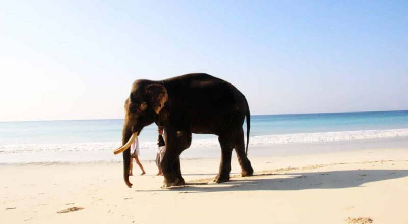 Kunnen olifanten zwemmen?