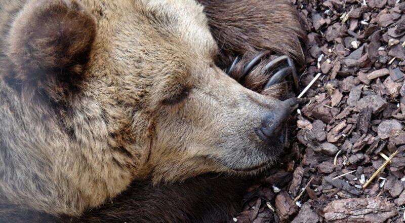 Houden beren echt een winterslaap?